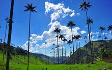 Quindian wax palm